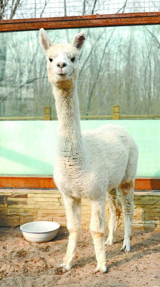 焦作森林动物园引进苏利羊驼