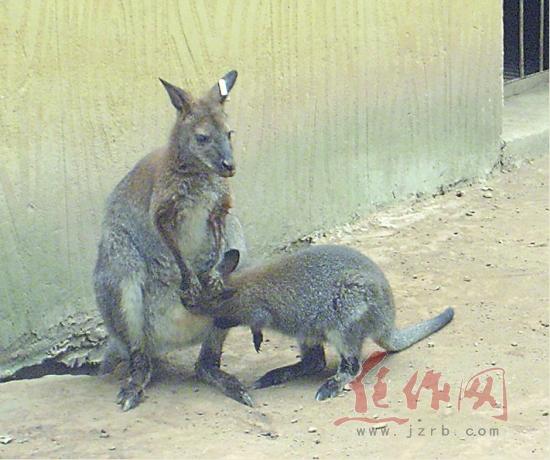 袋鼠宝宝亮相市森林动物园