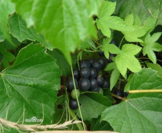 野草莓,野葡萄等